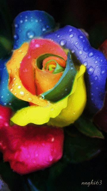 animated rainbow rose colorful flowers rainbow animated