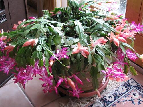 2010 Christmas Cactus