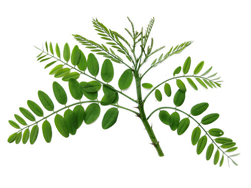 Robinia pseudoacacia - Black Locust leaves by Virens (Latin for greening)