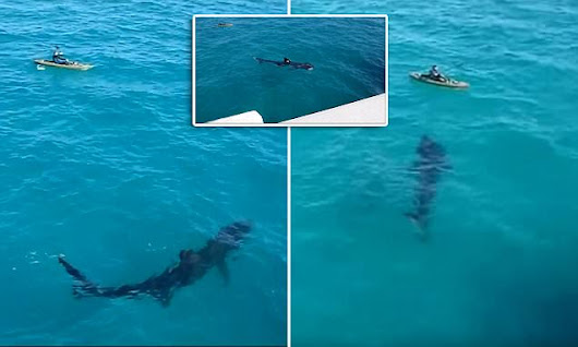 Onlookers shout in horror as giant shark swims within feet of kayaker
