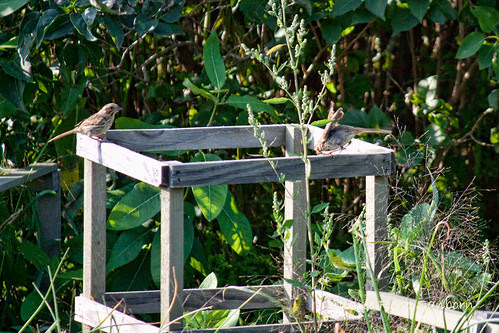 Song Sparrow on Tomato Cage (Melospiza melodia)-1.jpg