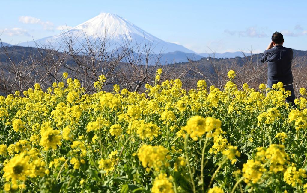 神奈川県二宮町の吾妻山公園では菜の花が見頃を迎えている。富士山と菜の花の「競演」を撮影する人の姿が目立った =神奈川県二宮町(寺河内美奈撮影)