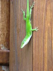 Lizard giving me the stink-eye