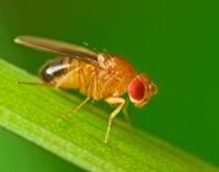 Image result for drosophila melanogaster