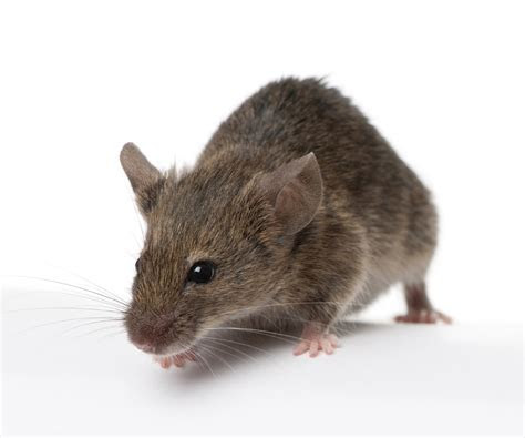How to Get Rid of Mice   Tomlinson Bomberger
