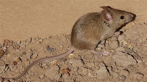 Pest Control North Shore   Australia: Signs of a House Mouse Infestation
