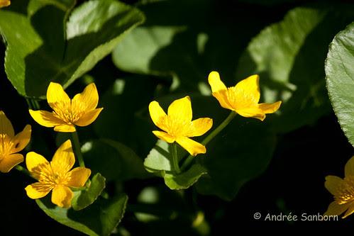Cowslips (marsh marigold) (Caltha palustris)-7.jpg