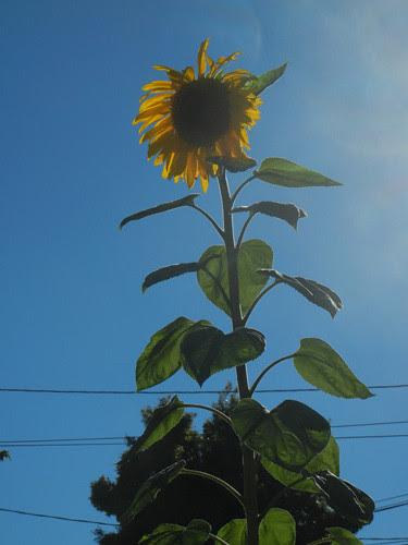 DSCN7011 - Sunflower, June 2013