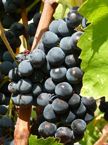 Minervois Grapes