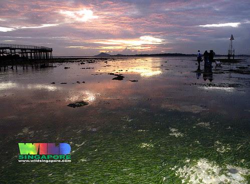 Chek Jawa: seagrass meadows
