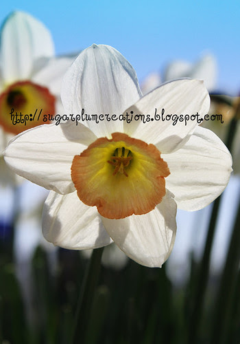 TulipFest2 W