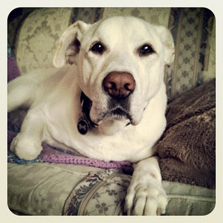 Zeus says Good Morning Instagram! #dogstagram #ilovemydogs #bigdog #instadog #love #paw #dogs #labmix