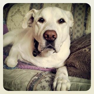 Zeus says Good Morning Instagram! #dogstagram #ilovemydogs #bigdog #instadog #love #paw #dogs #labmix