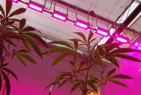 Cannabis Grown Under LED Lighting May Produce More Medicinal Properties | Electronics360