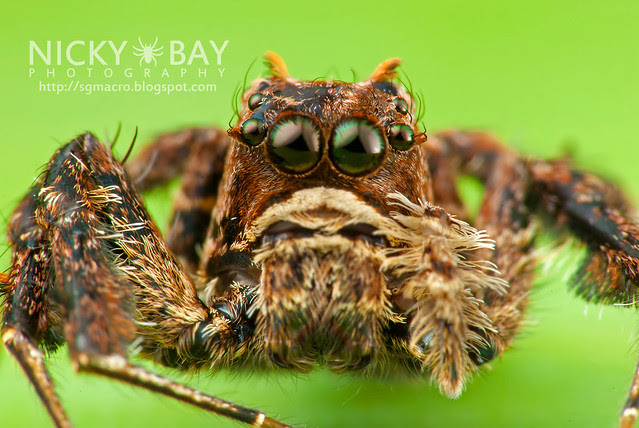 Jumping Spider (Portia sp.) - DSC_5801