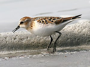 English: Little Stint (Calidris minuta). Photo...