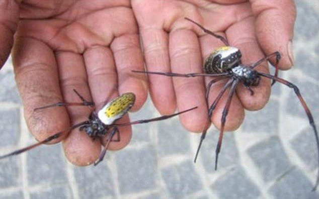 A cada manhã uma equipe iria vasculhar as terras altas de Madagascar para o sexo feminino aranhas Ouro Orb
