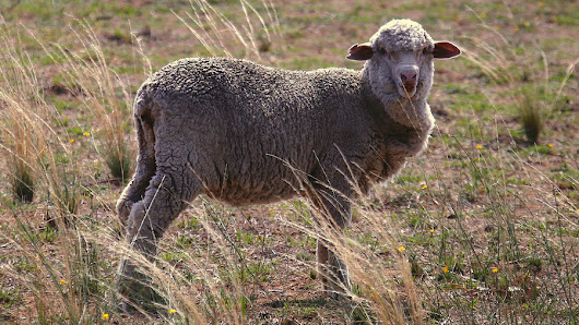 Radioactive sheep boost claims of secret Israeli nuke test
