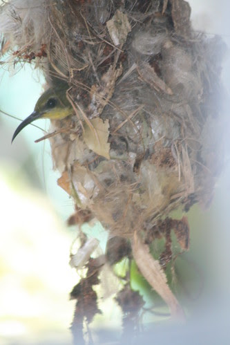 Sunbird 036