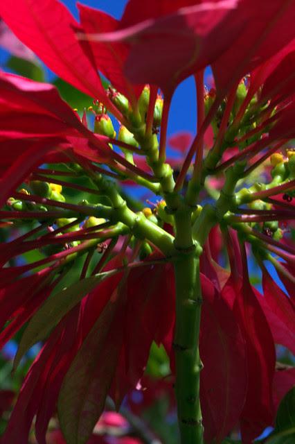 IMG 1652.CR2 Under the Poinsettia