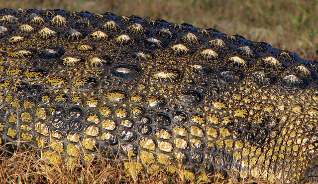DSC09302 Nile Crocodile scales detail