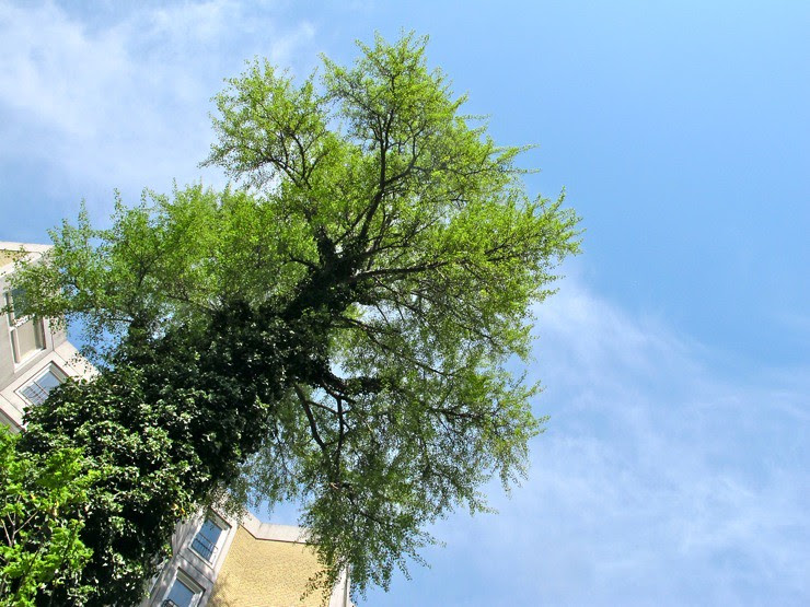 Endangered Copenhagen tree