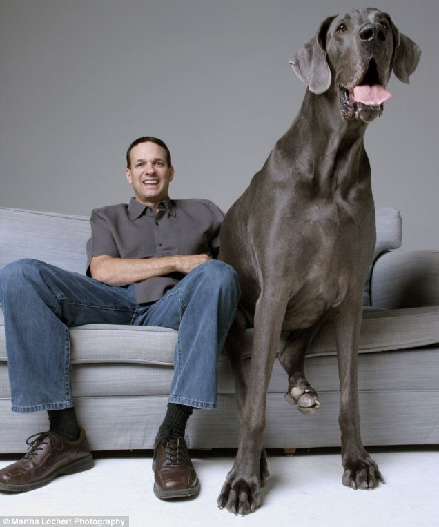 Man's biggest friend: Devoted owner Dave Nasser with George, the world's biggest dog