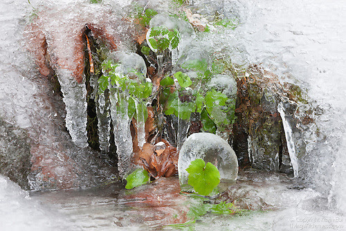 Plants Encased In Ice, Columbia River Gorge, Oregon