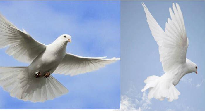 Qué Significa Ver Una Paloma Blancaespiritual Y Simbólico