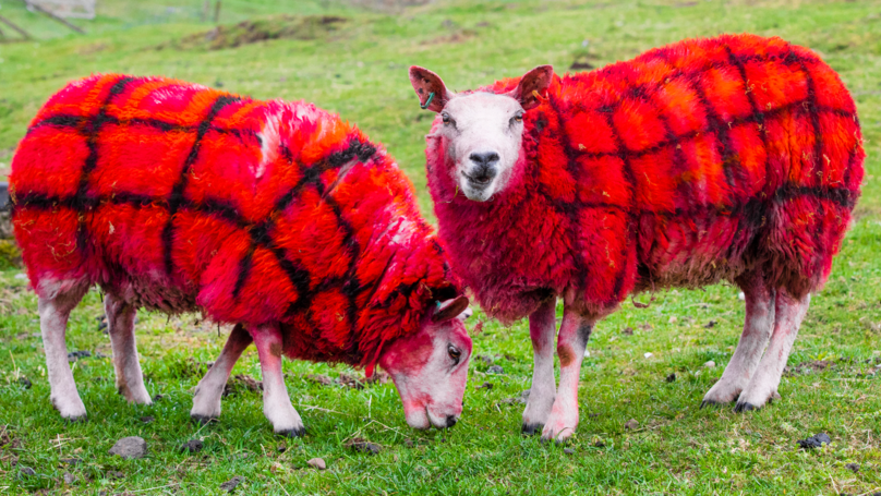 Scottish Farmer Winds Up American Tourists By Painting Her Sheep Tartan