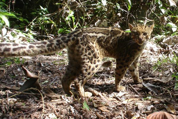 Unduh 89+  Gambar Kucing Hutan Jawa Paling Bagus Gratis