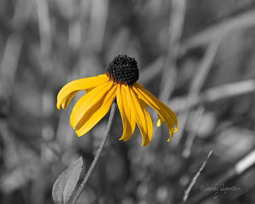 Black-Eyed Susan 1
