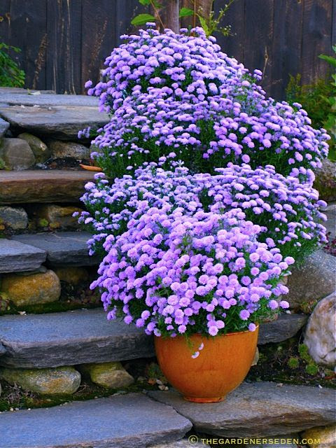 Container Gardening... Pots Of Lavender Colored Asters On Steps, Beautiful (1) From: Gardener's Eden (2) Follow On Pinterest >   The Gardener's Eden