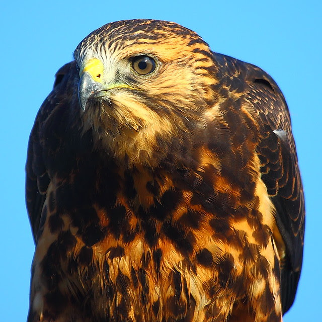 IMG_5952 Juvenile Swainson's Hawk, San Luis National Wildlife Refuge