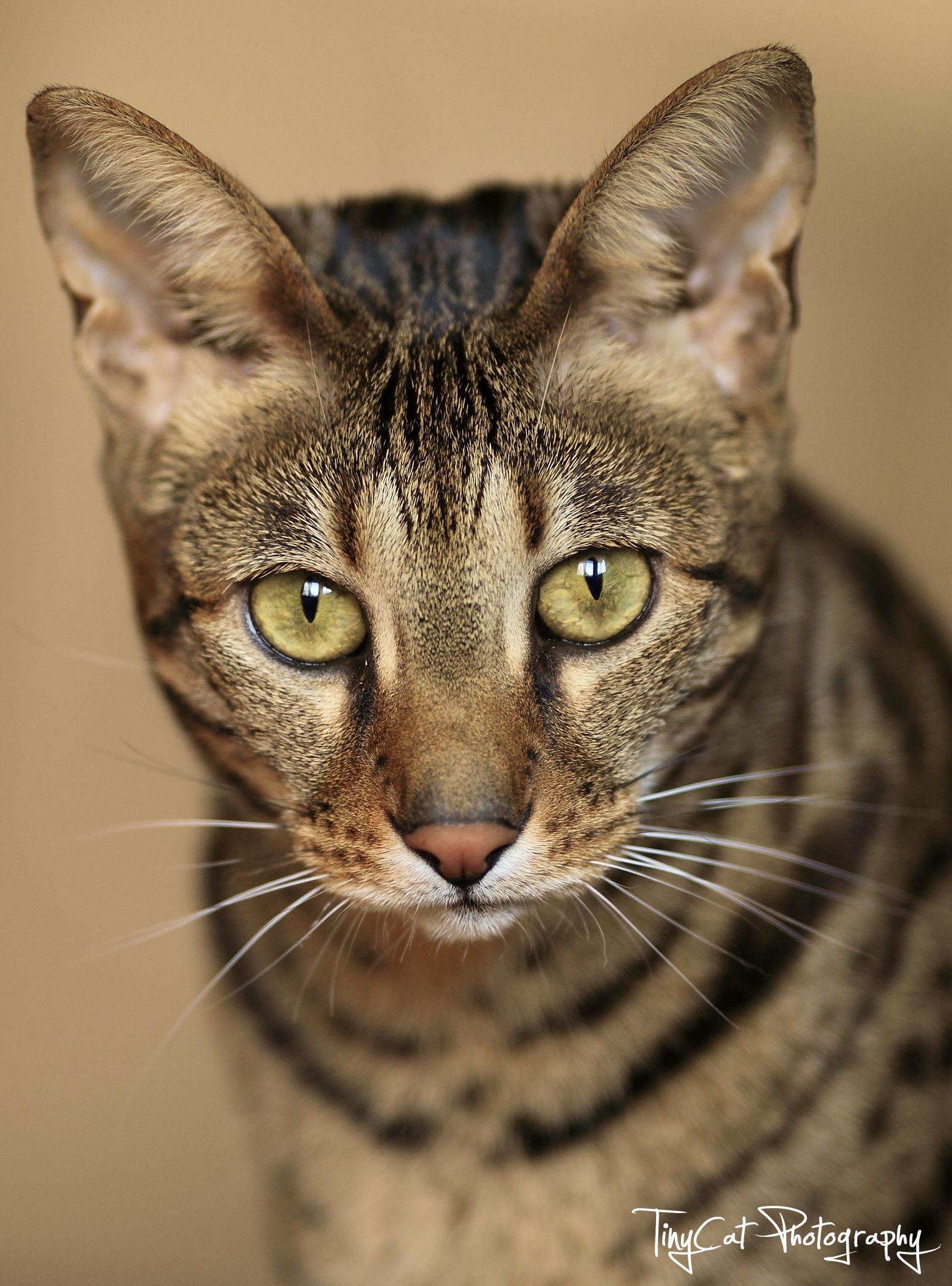Savannah Cat Owners #1 Guide! | Kitten Cost, Breeders, Advice