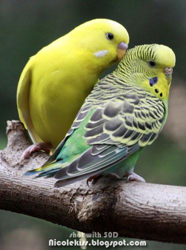 couple parakeets