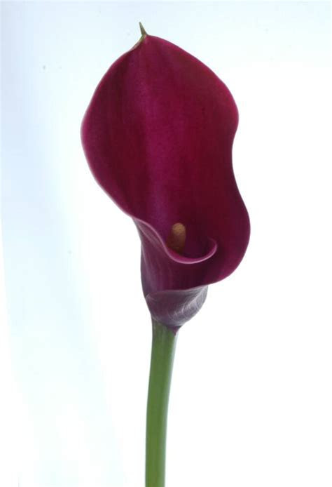 CALLAS,CALLAS FOR WEDDINGS, PERLA FARMS CALLAS,WEDDING CALLAS