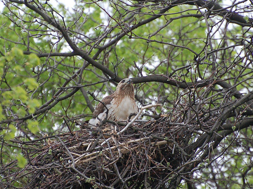 Riverside Red-Tail Mama