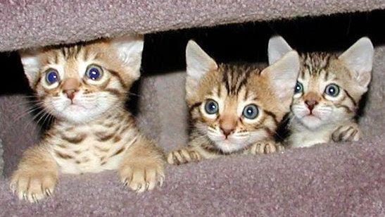 http://www.swapmeetdave.com/Humor/Cats/BengalKits.jpg