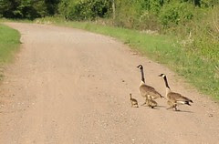 Baby Geese Crossing the Road
