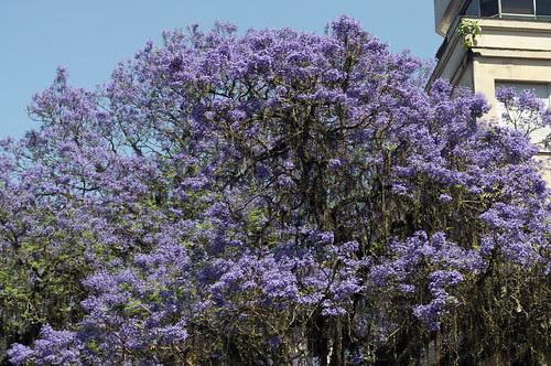Porto Alegre do Ipê roxo