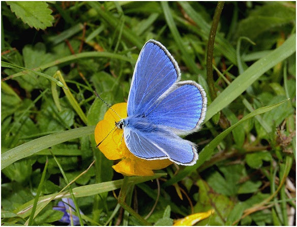 Mariposa Azul Común Mariposapedia