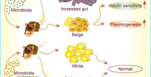 Study shows how gut microbiota regulates weight loss & good fat in the cold.