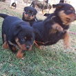 Getting your Doubts Cleared on Rottweiler Litters September 3 ...