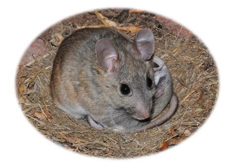 How to Get Rid of Pack Rats in Arizona   birdingthebrookeandbeyond