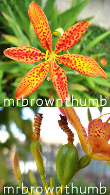 Belamcanda chinensis-Blackberry Lily flower and seed pod