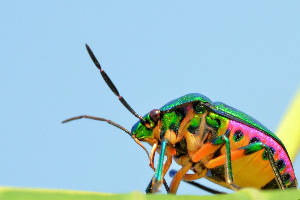 Jewel Bug  E0 A6 95 E0 A6 Be E0 A6 81 E0 A6 9a  E0 A6 Aa E0 A7 8b E0 A6 95 E0 A6 Be Kanch Poka Very Frequent In Rural