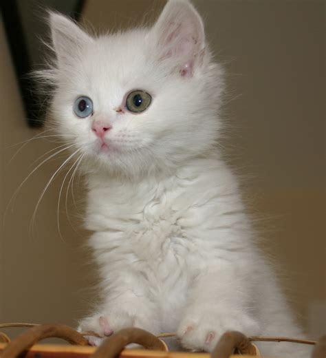 kucing persia animal planet