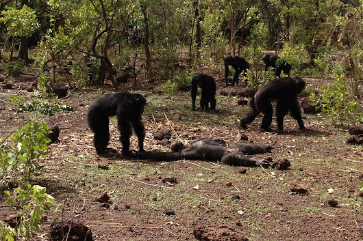 Chimps beat up, murder and then cannibalise their former tyrant