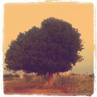 الشجرة المعمرة In English
